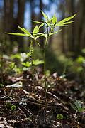 Coralroot (Dentaria bulbifera) growing on forest floor in spring, Kemeri National Park (Ķemeru Nacionālais parks), Latvia Ⓒ Davis Ulands   davisulands.com