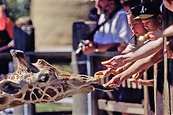 People Feeding Reticulated Giraffe