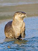 Alaska. Northern River Otter (Lontra canadensis) on alert along a coastal stream, Seward.