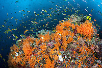 Schooling Damsels and Wrasses, with a baitfish swarming above.<br /> <br /> <br /> Shot in Indonesia