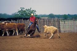 rancher herding cattle