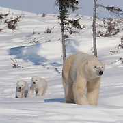 A mother and cub polar bear traveling towards Hudson Bay pass through a spruce forest in Wapusk National Park. It's early March and the temperatures are -46F; this is the time mother and cubs emerge from the den. Manitoba, Canada