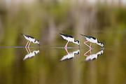 Reflection of black-necked stilts while feeding