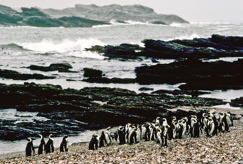 A group of penguins sitting by the shore.
