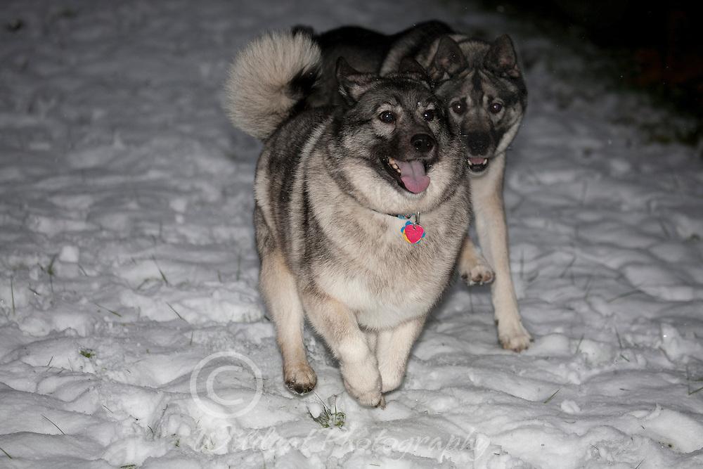 Elkhounds--Winter Fun, wheeeee, I'm winning!