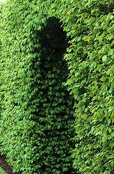 Archway through beech hedge