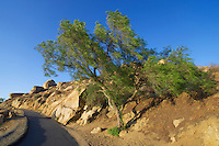 Tree on the trail to Mount Rubidoux, Riverside, California.