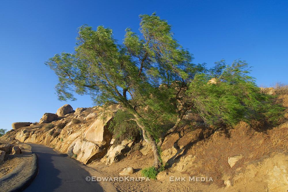 Tree on the trail to Mount Rubidoux, Riverside, California.