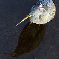 South Florida bird photography from New England based outdoor photographer Juergen Roth showing a heron at the Green Cay Nature Center and Wetlands in Boynton Beach, Florida. Green Cay and Wakodahatchee Wetlands are amazing nature area for viewing and photographing wildlife in Florida. <br /> <br /> Bird photos of this heron are available as museum quality photo prints, canvas prints, wood prints, acrylic prints or metal prints. Fine art prints may be framed and matted to the individual liking and interior design room project needs:<br /> <br /> https://juergen-roth.pixels.com/featured/heron-reflection-juergen-roth.html<br /> <br /> All bird photography images are available for photography image licensing at www.RothGalleries.com. Please contact me direct with any questions or request.<br /> <br /> Good light and happy photo making!<br /> <br /> My best,<br /> <br /> Juergen<br /> Prints: http://www.rothgalleries.com<br /> Photo Blog: http://whereintheworldisjuergen.blogspot.com<br /> Instagram: https://www.instagram.com/rothgalleries<br /> Twitter: https://twitter.com/naturefineart<br /> Facebook: https://www.facebook.com/naturefineart