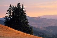 Evergreens at sunrise in the hills above Ukiah, Mendocino County, California
