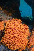 Cup Coral (Tubastrea)<br /> Lesser Sunda Islands<br /> Indonesia