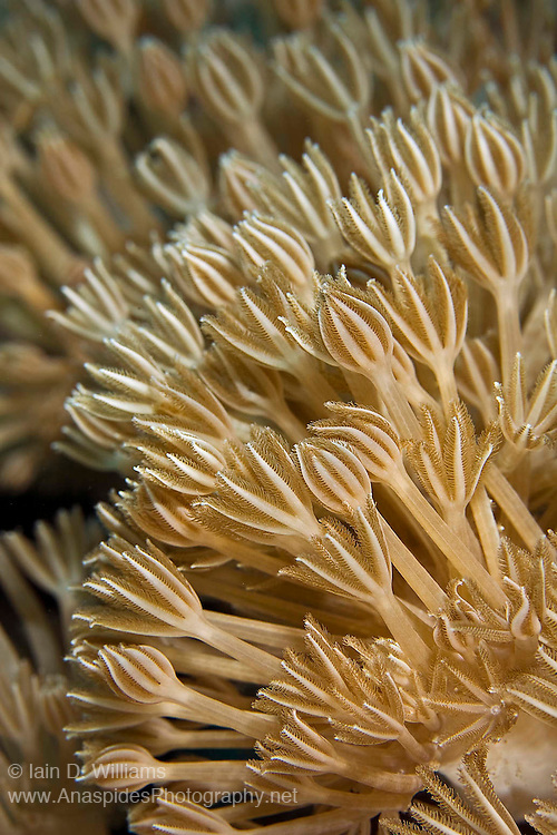 In areas of strong current, soft corals will extend their polyps to feed upon plankton and other detritus transported by the water flow