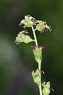 Fringecups Tellima grandiflora Height to 80cm<br /> Perennial of damp, shady places. Flowers are pinkish-white with fringed lobes. Borne in slender spikes, June-July. Leaves are rounded and basal. Status-Introduced from North America as a garden plant and now a locally pernicious weed.