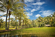 Paddy Field, Meru Betiri National Park, East Java, Indonesia, Southeast Asia
