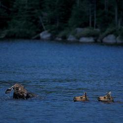Baxter S.P., ME Moose, Alces alces. Sandy Stream Pond.  Twin calves.  June. Moose, Alces alces. Sandy Stream Pond.  Twin calves.  June.