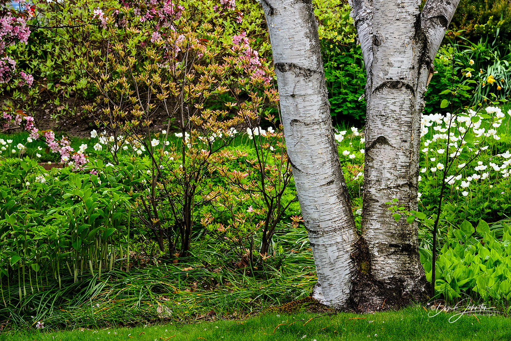 birch tree and azalea, Greater Sudbury, Ontario, Canada