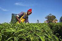 Kenya, Kericho county, Kericho, cueillette du thé, Philippe Korer, 36 ans // Kenya, Kericho county, Kericho, Philippe Korer, 36 old, tea picker picking tea leaves