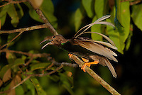Wallace's Standardwing Bird of Paradise (Semioptera wallacei) male at his display site in the rain forest canopy..Kali Batu Putih, Halmahera Island, North Moluccas, Indonesia.