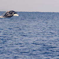 Humpback Whale Breaching 6 of 9