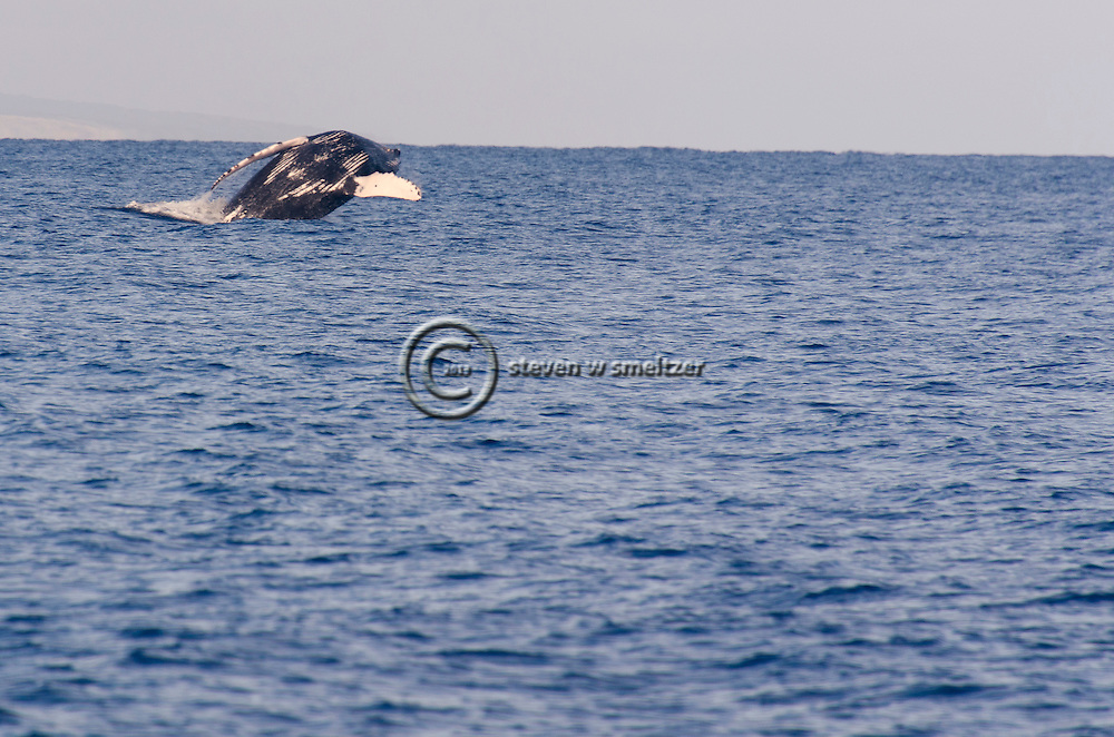 Humpback Whale Breaching 6 of 9