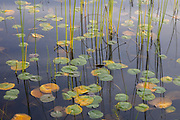 Fragrant water lily pads, which are beginning to show their autumn colors, float on Lake Sammamish among bulrush and fern stalks in this view from Marymoor Park, Redmond, Washington.