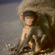 Chacma Baboon, (Papio ursinus) Young baboon sitting near mother. Early evening. Kruger National Park. South Africa.