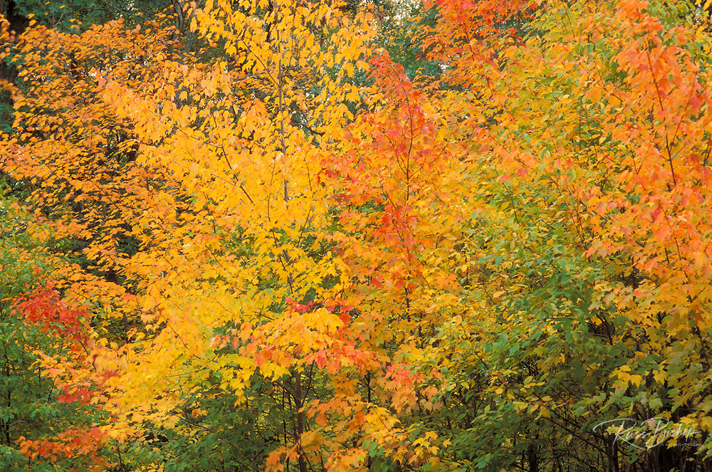 Yellow and red fall maples, St. Croix Wild River State Park, Minnesota.