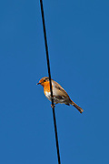 Robin bird, Erithacus rubecula,  perched on wire at Woolacombe, North Devon, UK