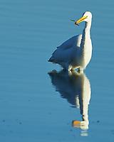 Great Egret (Ardea alba). Fort De Soto Park. Pinellas County, Florida. Image taken with a Nikon D4 camera and 500 mm f/4 VR lens.