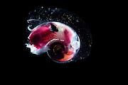 [captive] Sea elephants (Heteropoda (Synonyms Pterotracheoidea) -Heteropod - pelagic marine gastropod mollusc (Oxygyrus keraudreni). Dextrally shelled, pelagic snail, 1 cm in diameter with large eyes and a single swimming fin. Atlantidae; Atlantic Ocean, close to Cape Verde |  Räuberisch lebende Planktische Meeresschnecke (Oxygyrus keraudreni), Sie ernähren sich besonders von anderen Planktonweichtieren wie den Pteropoden. Ihre Zähne haben die Form einer Radula - ein Förderband aus scharfen Messern, die ein wenig wie ein Ölbohrer wirkt. Atlantischer Ozean, nahe Kap Verde