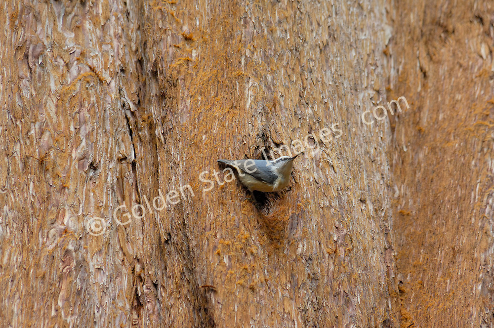 A Nuthatch building its nest in the knothole of a Sequoia tree.    <br /> Species: Sitta carolinensis