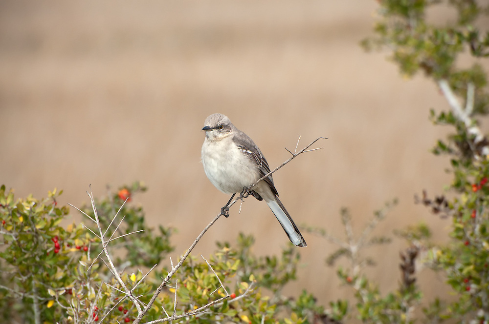 A mockingbird huddles against the chill on a windy winter morning on Florida's northern Gulf coast on the Panhandle.