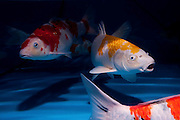 "ginrin hariwake variety Koi (Japanese: literally ""brocaded carp""), are ornamental domesticated varieties of the common carp (Cyprinus carpio) that are kept for decorative purposes in outdoor koi ponds or water gardens. Koi are among the longest-living vertebrates, with some animals living over 200 years. Koi varieties are distinguished by colour, patterns, and scales. The most popular category of koi is the Gosanke, which is made up of the Kohaku, Taisho Sanshoku, and Showa Sanshoku varieties.Photographed at the handpick pools at Kibbutz Maagan Michael aquaculture breeding farm, Israel"
