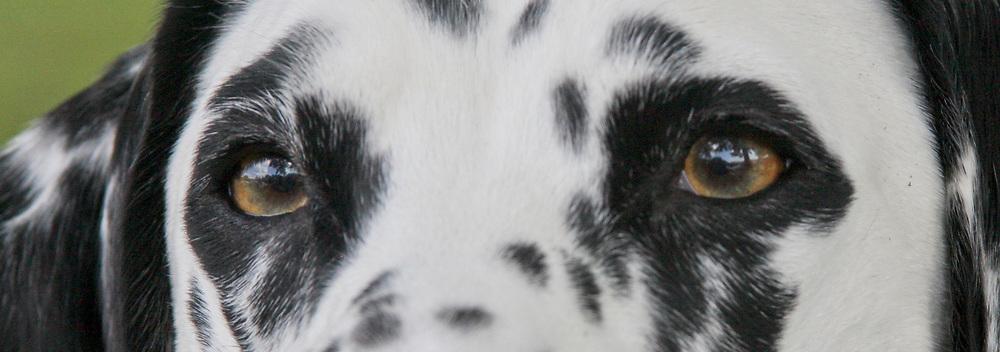 Dalmatian dog close up of amber colored eyes