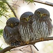 Northern pygmy owl (Glaucidium gnoma) fledglings in Montana.