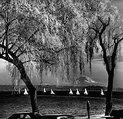 A passerby watched a cluster of sailboats racing on Lake Washington off Madrona Park. A brisk breeze created a mild chop on the  lake. New leaves clothed the willow trees and Mount Rainier was in the background. (Josef Scaylea / The Seattle Times, 1964)