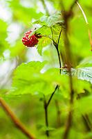 Salmon berry bush closeup