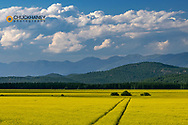Flowering stands of canola in the Flathead Valley, Montana, USA