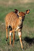 Nyala calf (Tragelaphus angasi). Native range: lowland woods of extreme SW Africa including Zimbabwe, Mozambique and South Africa.