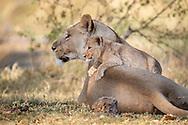 lioness,lion cub,sabine,delta