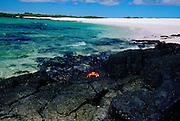 Sally Lightfoot crab on rocks,  Galapagos Islands, Ecuador
