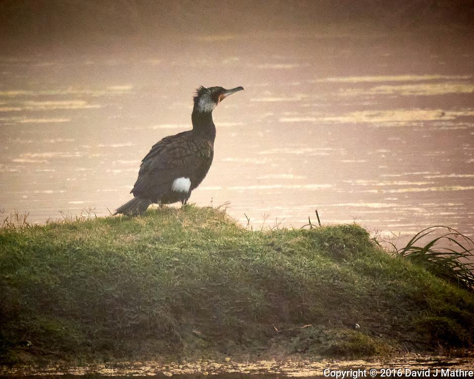 Great Cormorant. Bharatpur-- Keoladeo Ghana National Park, Rajasthan, India. Image taken with a Nikon 1 V3 camera and 70-300 mm VR lens.