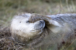 July 21, 2019 - Seal Covering Face (Credit Image: © John Short/Design Pics via ZUMA Wire)