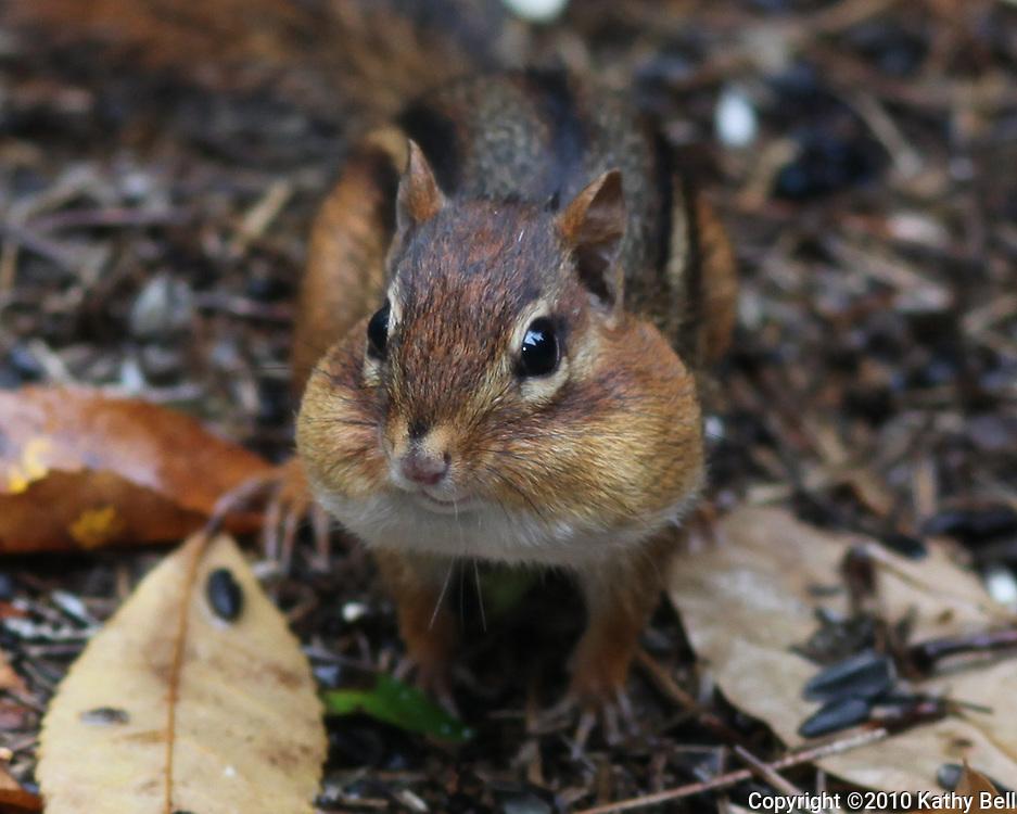 Image of a chipmunk