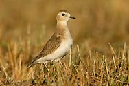 Mountain Plover - Charadrius montanus - winter adult