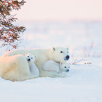 Polar Bear mother with her two three month old cubs resting on the tundra in Wapusk National Park south of Churchill Manitoba Canada near the Hudson Bay at sunset.