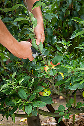 Pruning a step-over apple