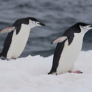 Pair of Chinstrap penguins make their way ashore on Half Moon Island. Antarctica.