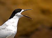 White-fronted tern (Sterna Striata) calling on a rock near South Head on the Tasman Sea,  North Island, New Zealand