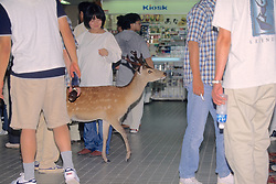Sika Deer In Store WIth People